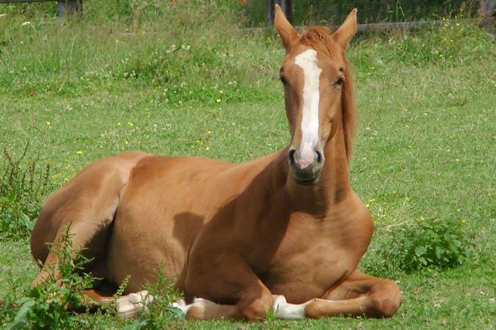 Cassioppeaux paddocks de frenay - Melesse (35)